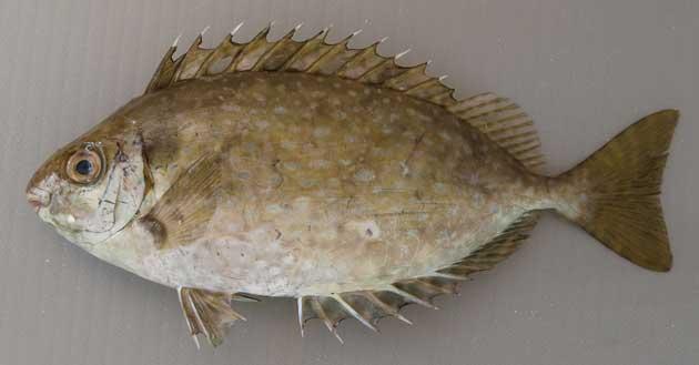 バリという魚
